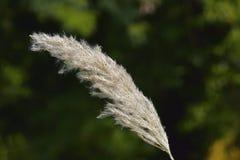 L'herbe de Kans, spontaneum de saccharum est un indigène d'herbe à l'Asie du sud photos stock