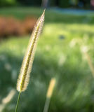 L'herbe de mission ou le polystachion de Pennisetum Photo stock