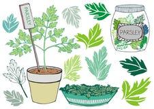 L'herbe de persil avec la cuvette, le pot et le pot illustration stock