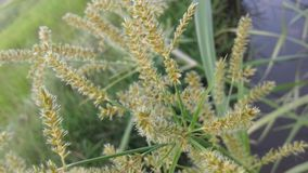 L'herbe de rizière image libre de droits