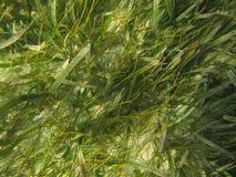 L'herbe de tortue de testudinum de Thalassia et lamantin du filiforme de Syringodium engazonnent les prairies sous-marines marine images libres de droits