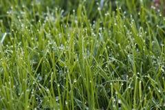 L'herbe droite et le grain cru dégagent la lumière de matin images libres de droits