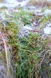 L'herbe est gelée. Images libres de droits