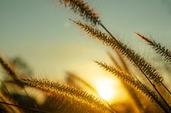 L'herbe et le soleil tombent image libre de droits