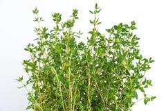 L'herbe fraîche de thym se développent Photos libres de droits
