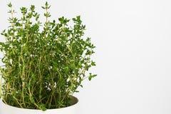 L'herbe fraîche de thym se développent dans le vase Photographie stock