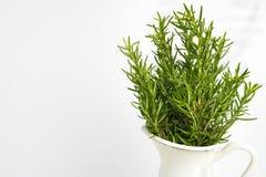L'herbe fraîche de thym se développent dans le vase Images libres de droits