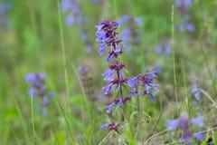 L'herbe Medicative des officinalis latins sages feuillus de Salvia se développe dans un pré vert photographie stock libre de droits