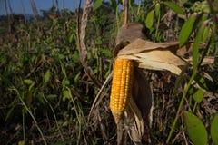L'herbe sèche couverte du maïs compense l'élevage Cascade de maïs Images libres de droits