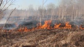 L'herbe sèche flambe parmi les buissons, le feu dans le secteur de buissons banque de vidéos