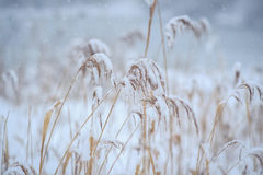 L'herbe sèche sous la neige Photos libres de droits