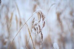 L'herbe sèche sous la neige Photo stock
