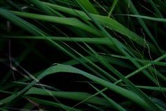 L'herbe sauvage laisse l'élevage dans un domaine avec le fond foncé photographie stock libre de droits