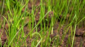 L'herbe se développe du sol banque de vidéos