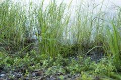 L'herbe sur le rivage de l'étang Image libre de droits