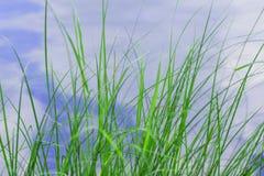 L'herbe sur le rivage de l'étang Photographie stock libre de droits