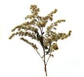 L'herbe tordue que la tige se courbe abat des graines de parapluies, cov de brindilles Photos stock