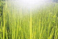 L'herbe verte avec de l'eau matin se laisse tomber à la lumière du soleil Images libres de droits