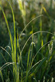 L'herbe verte avec le matin mouille Photographie stock