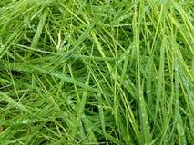 L'herbe verte de ressort humide avec la pluie laisse tomber le plan rapproché Photographie stock libre de droits