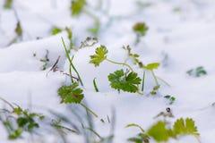 L'herbe verte est couverte de neige Première neige Au printemps pousses d'herbe par le snow_ photos stock