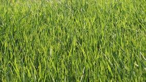 L'herbe verte et les transitoires flottant sur le vent, se ferment  banque de vidéos