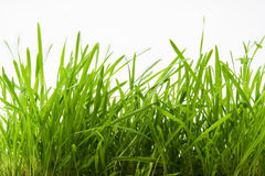 L'herbe verte fraîche Images libres de droits