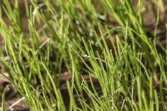 L'herbe verte fraîche avec des baisses de rosée se ferment  photos libres de droits