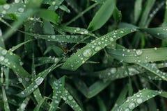 L'herbe verte fraîche avec des baisses de rosée se ferment  Arrosez les driops sur l'herbe fraîche après pluie Rosée légère de ma Image stock