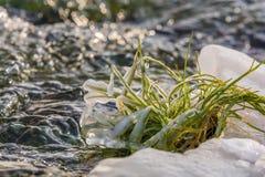 L'herbe verte luxuriante survit à l'hiver glacé sur un courant hivernal image stock