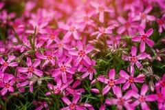 L hermoso fondo de pequeñas flores púrpuras fotos de archivo libres de regalías