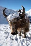 l'Himalaya proche Népal vers le haut des yaks Images libres de droits
