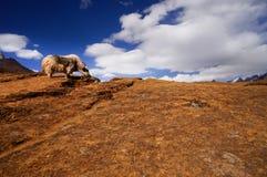 L'Himalaya Yack Immagini Stock