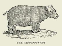 L'hippopotame dans la vue de profil Illustration Images libres de droits