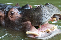 L'hippopotame de natation, se ferment vers le haut du tir Photographie stock