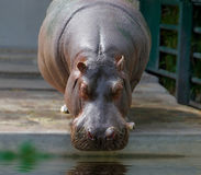 L'hippopotame de zoo est prêt à boire l'eau Photographie stock