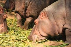 L'hippopotame mange de la nourriture photos libres de droits