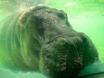 L'hippopotame prennent un petit somme sous l'eau photos libres de droits