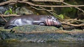 L'hippopotame pygméen, ou l'hippopotame pygméen libérien est un mammifère herbivore de la famille d'hippopotame photos libres de droits