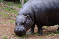 L'hippopotame pygméen regarde l'appareil-photo Photographie stock libre de droits