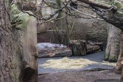 L'hippopotame pygm?en photos libres de droits