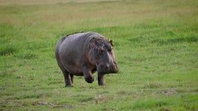L'hippopotame sauvage marche par le pâturage avec l'herbe verte fraîche en plaine africaine banque de vidéos