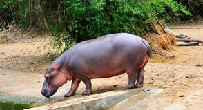 L'hippopotame se bronze photo stock