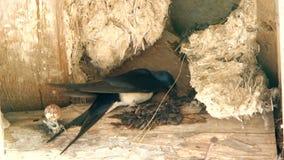 L'hirondelle niche son nid avec son bec banque de vidéos