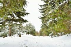 L'hiver dans la forêt de pin Photo libre de droits