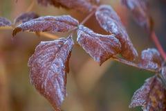 L'hiver dans le jardin Gelée sur le feuillage, le premier gel photo libre de droits
