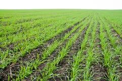 l'hiver de blé Image libre de droits