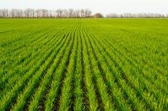 l'hiver de blé Photo libre de droits