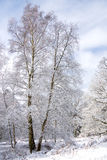 l'hiver de bouleau photo stock