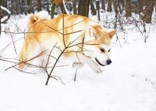 L'hiver de crabot d'Akita Photo stock